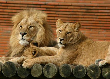 of lions: Familia del le�n Foto de archivo