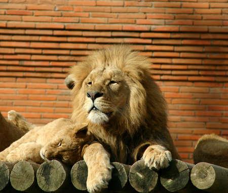 lion familty