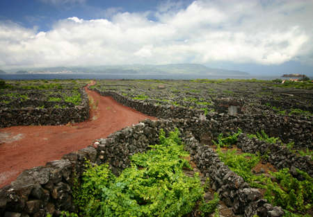 portugal agriculture: Vineyard - Azores, Portugal