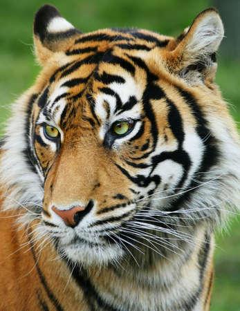 sumatran tiger: Tiger
