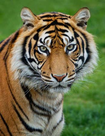 Бенгалия: Суматры тигра Фото со стока