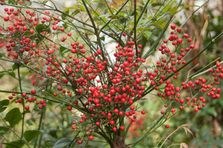 Nandina domestica  Red berries of Japanese Sacred Bamboo  Stock Photo