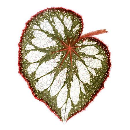 Begonia leaf. Botanical illustration (1867)