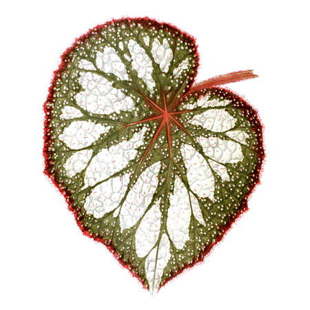 Begonia leaf. Botanical illustration (1867)