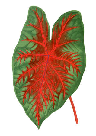 Caladium bicolor. Botanical illustration (1867)