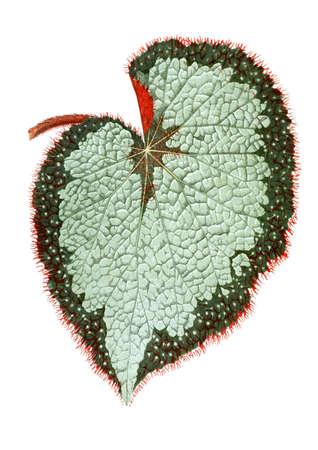 Begonia leaf on white background. Botanical illustration (1867)