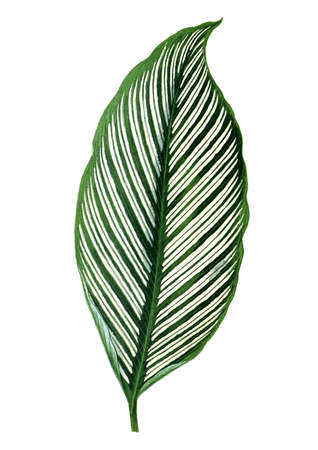 Leaf with white stripes. Botanical illustration