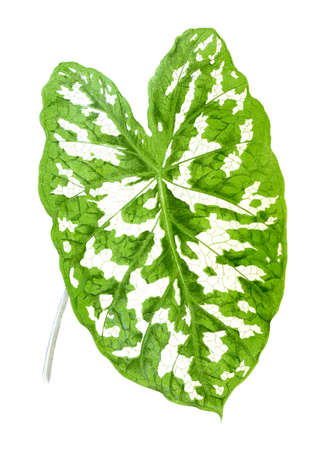 Caladium Pictum. Botanical illustration (1867) Stock Photo