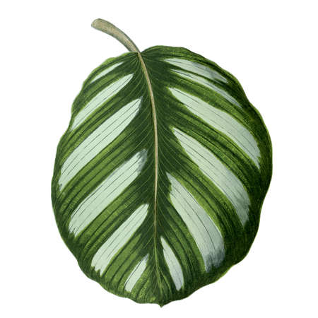Striped leaf. Botanical illustration (1867)