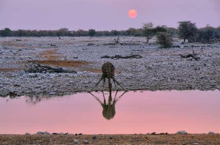 waterhole: Beber Jiraffe en un pozo de agua Foto de archivo