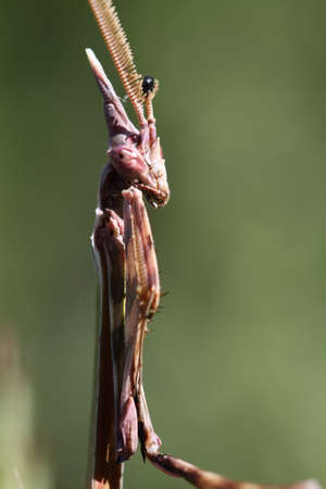 foreleg: Praying mantis macro