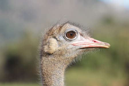 Ostrich head closeup photo