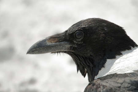 Pied Crow in Etosha national park photo