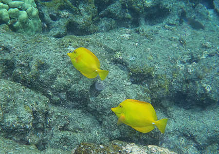 Yellow Tangs in hawaian underwater photo