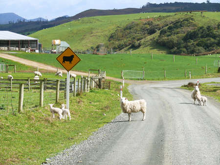 Sheeps in the middle of a gravel path in New Zealand photo