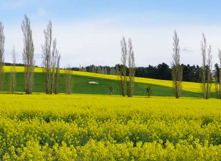 rapaseed: field of rapeseed in south island with New Zealand alps at background