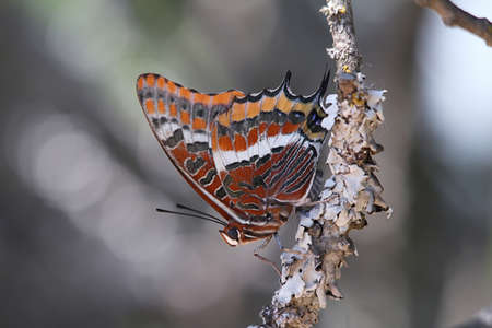 Red butterfly  in a branch, Extremadura, Spain photo