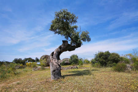 extremadura: Holm oak trees in Extremadura, Spain Stock Photo