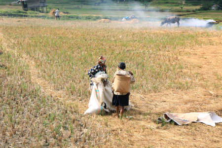 SULAWESI, INDONESIA - SEPTEMBER 10  Unidentified people working in rice fields on September 10, 2009 in regency known as Tana Toraja  Tana Toraja is home of Toraja minority ethnic group in South Sulawesi island, Indonesia Stock Photo - 25343201