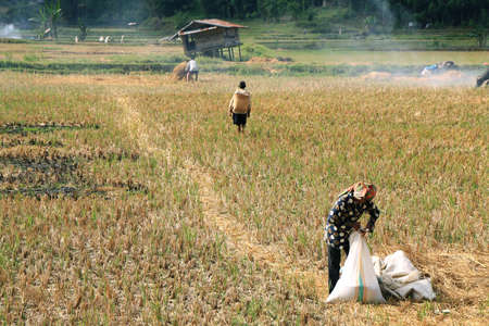 SULAWESI, INDONESIA - SEPTEMBER 10  Unidentified people working in rice fields on September 10, 2009 in regency known as Tana Toraja  Tana Toraja is home of Toraja minority ethnic group in South Sulawesi island, Indonesia