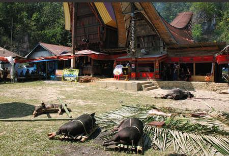 Tana Toraja, Indonesia, 11 de septiembre jabalíes muertos en el suelo al final del funeral toraja en septiembre 11,2009 en Tana Toraja Los ritos funerarios en Tana Toraja es rica en tradición antigua Foto de archivo - 25343203