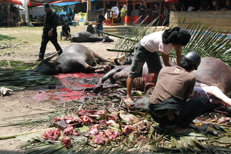 rites: TANA TORAJA, INDONESIA- SEPTEMBER 11  Unidentified people cutting up dead buffalo at the end of torajan funeral on Sep 11,2009 in Tana Toraja  Funeral rites in Tana Toraja is rich with old tradition
