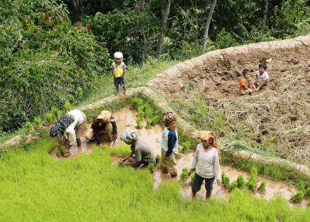 SULAWESI, INDONESIA - SEPTEMBER 12  Unidentified people working in rice fields on September 12, 2009 in regency known as Tana Toraja  Tana Toraja is home of Toraja minority ethnic group in South Sulawesi island, Indonesia Stock Photo - 25343206