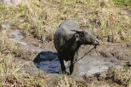 Water Buffalo in muddy rice fields near the village of Batutumonga, Tana Toraja, Sulawesi, Indonesia photo