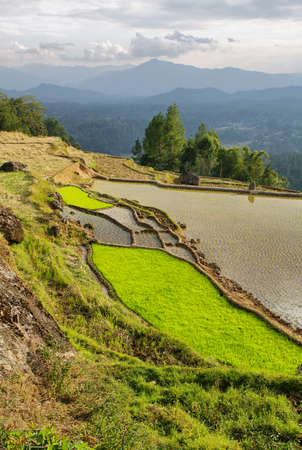 Green rice fields near the village of Limbong in Tana Toraja region of Sulawesi, Indonesia Stock Photo - 25409244