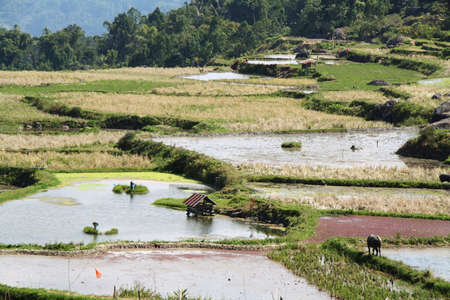 Wet rice fields near the village of Batutumonga in Tana Toraja region of Sulawesi, Indonesia Stock Photo - 25409248