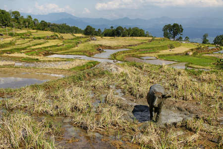 Wet rice fields near the village of Batutumonga in Tana Toraja region of Sulawesi, Indonesia photo