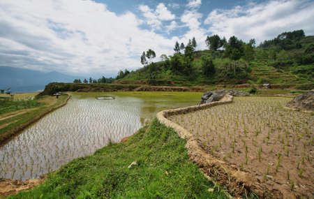 Green rice fields near the village of Limbong in Tana Toraja region of Sulawesi, Indonesia Stock Photo - 25409254