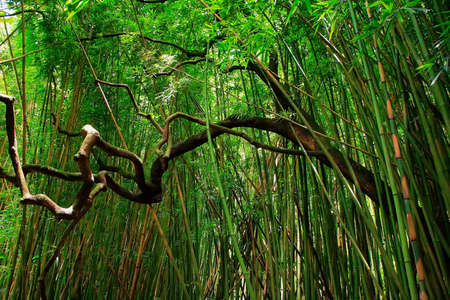 Bamboo forest in East Maui island, Hawaii photo
