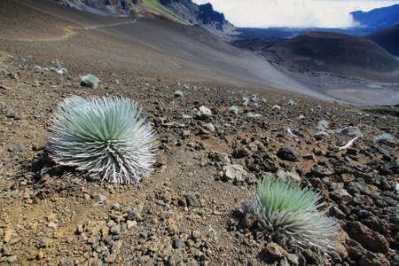 national plant: Silversword Plant, Haleakala National Park, Hawaii, USA Stock Photo