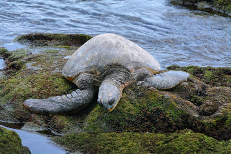 green sea: Green sea turtle on Punalu