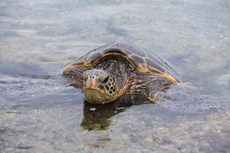chelonia: Green sea turtle on Punaluu Black Sand Beach in Big island, Hawaii