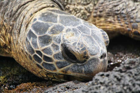 Green sea turtle on Punalu'u Black Sand Beach in Big island, Hawaii photo