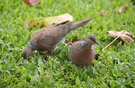 Spotted Dove  Streptopelia chinensis  in big islland, Hawaii photo