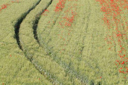 Fields of cereals and poppies Banco de Imagens
