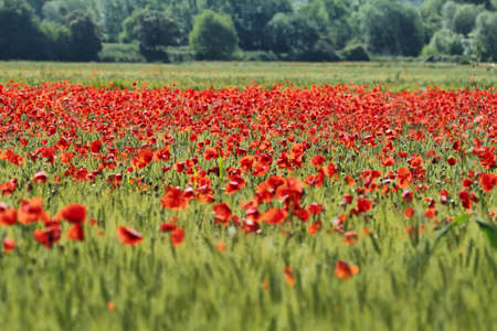 Fields of cereals and poppies photo