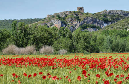Fields of cereals and poppies with ruins of ancient castle at background near Alos de Balaguer, La Noguera, Lleida, Spain Banco de Imagens