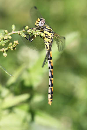 crocothemis: Black-headed Skimmer Dragonfly (Crocothemis nigrifrons) Stock Photo
