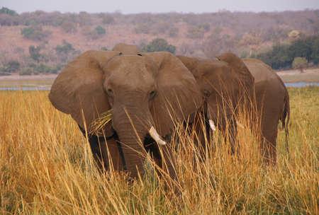 riverfront: Elephant eating grass in Chobe riverfront, Botswana