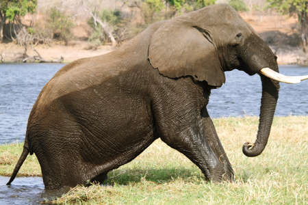riverfront: Elephant getting out of water in Chobe riverfront, Botswana Stock Photo