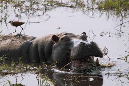 Fierce hippopotamus with open mouth in the river Chobe, Chobe national park, Botswana photo