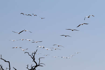 Flock of pelicans flying in Chobe national park, Botswana photo