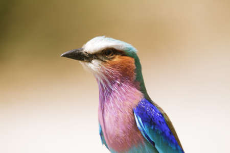 riverfront: Lilac Breasted Roller in Chobe riverfront, Botswana
