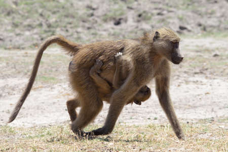 riverfront: Mother and baby baboon walking in Chobe riverfront, Botswana Stock Photo