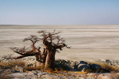 Baobabs on Kubu island in winter, Botswana