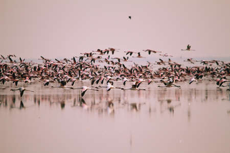 A huge flock of Lesser Flamingos flying in Nata Bird Sanctuary, Botswana photo